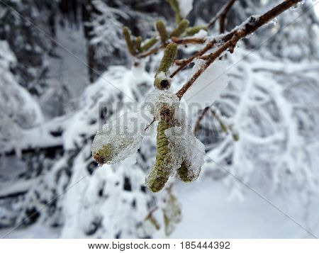 Flowers of the alder and snow ,