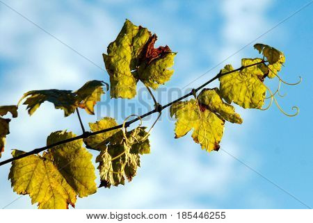 Vine tendril in sun bright blue sky green
