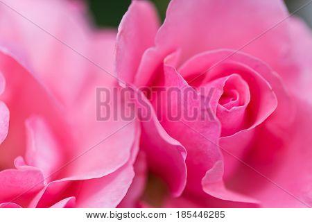 Macro image of pink rose bud and rose