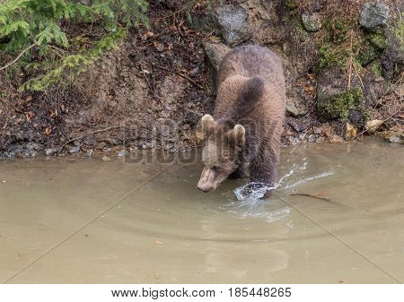Adult female Brown bear jumps into the water. Swallow bears. Close-up view of the bears in the lake. Portrait of a brown bear.