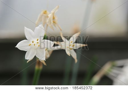 Blossoms Of Narcissus Broussonetii, Species Of The Genus Narcissus (daffodils)