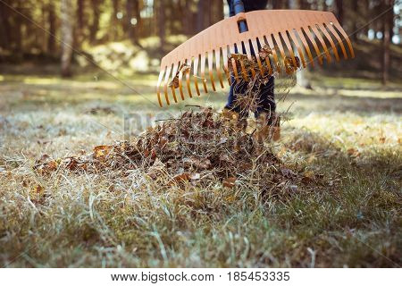 Removal Of Old Autumn Leaves By Rake