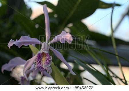 Cattleya Maxima (largest Cattleya), An Orchid Species