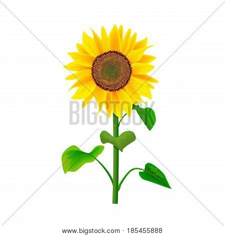Sunflower or Helianthus with stem and leaves isolated on white background. Food and Herbal medicine plant for cooking, culinary, oil-bearing-crop, healthcare, cosmetics, biofuel, label, decoration