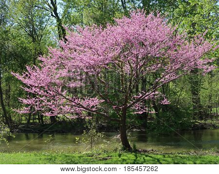 The redbud, cercis canadensis, is a tree covered with pink blossoms which grow in spring. It is also called the eastern redbud and is native to eastern North America from southern Ontario, Canada to northern Florida. Photographed in southeastern Michigan.