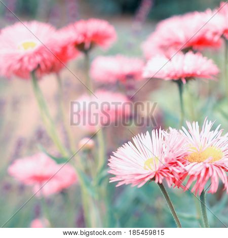 Astra flowers, nature background. Vintage style toned. square photo format