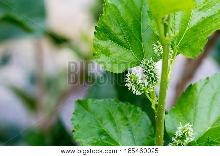 green mulberry mulberry natural focus mulberry on branch with leafs mulberry with bokeh background. fresh organic mulberry fruit.