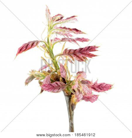 Spring branch of oak (Quercus rubra) with young reddish leaves isolated on white background