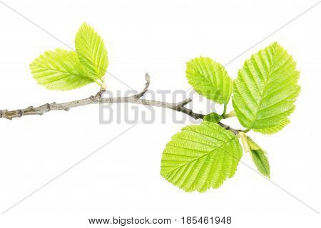 Alder branch with green leaves isolated on white background
