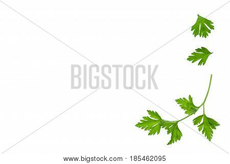 closeup of isolated parsley leaf on white background