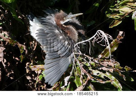 A juvenile Tricolor Heron excited to see it's parent  returning to the nesting site