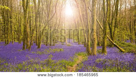 Bright sun casts a glow in dense bluebell woods in Dorset