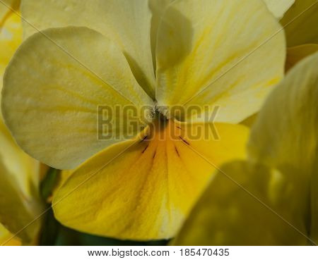 Close up of yellow Pansey on a bright spring day
