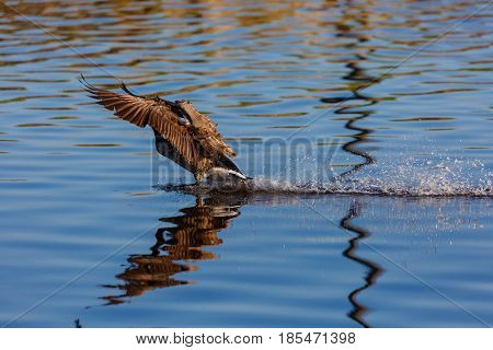 Canada goose (branta canadensis) landing on water and making a splash