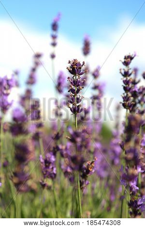 Fresh lavender ready to pick-up in a field
