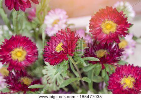 colorful gerbera flowers daisy plants in garden side home