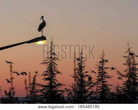 Silhouette of marabou stork at sunset at spring