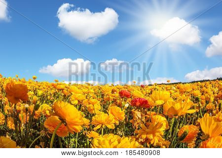 The magnificent blossoming fields of garden buttercups. The bright spring sun shining through the clouds. Concept of rural tourism and agrotourism