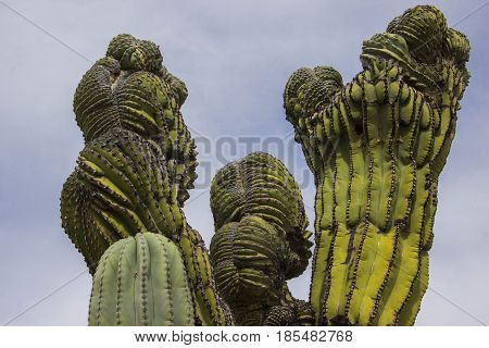 A crested (re: deformed) cardon cactus from northern Baja