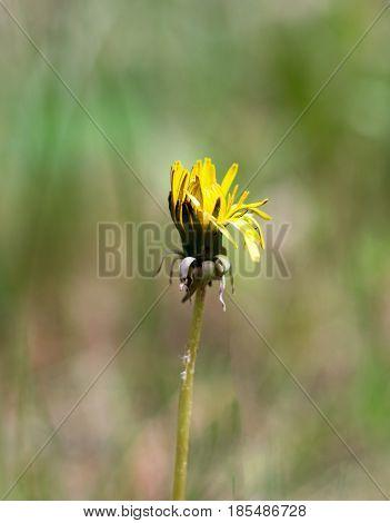 Yellow flower dandelion in spring bloom outdoors in nature.Macro shot of dandelion flower.