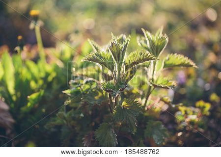 Nettle plant in field. Green natural background with soft bokeh. Selected focus. Detailed picture. Warm day light in the background