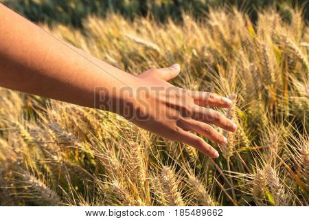 Mixed race African American young adult woman female girls hand feeling the top of a field of barley crop in golden sunlight at sunset or sunrise