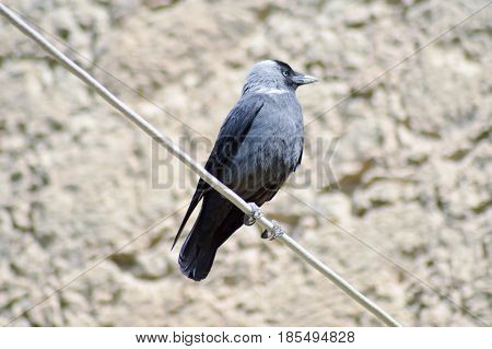 Black Crow Set on a Cable with Looking Up on the Island of Crete