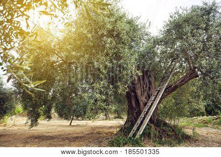 Olive tree garden. Mediterranean olive plantation ready for harvest
