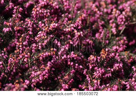 Heather/This is extensive heath with many kinds Heather.