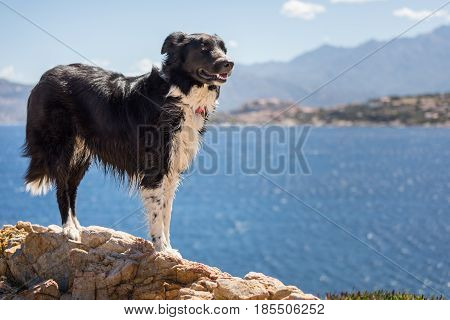 Border Collie dog standing on a rock on the coast of Corsica with the Mediterranean the citadel of Calvi and mountains in the background