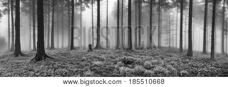 Panorama spring spruce forest with mist in the background