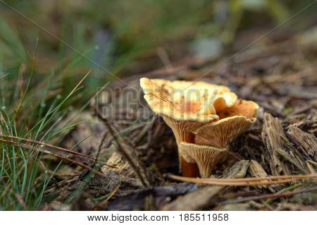 Hygrophoropsis Aurantiaca, Commonly Known As The False Chanterelle
