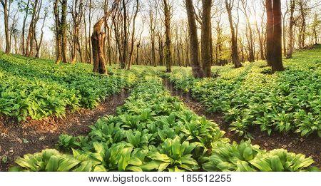 Forest path through wild garlic - Allium ursinum