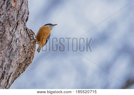 Eurasian nuthatch or Sitta europaea perching on a tree