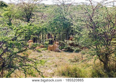 animal, nature and wildlife concept - pride of lions resting in maasai mara national reserve savannah at africa