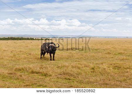 animal, nature and wildlife concept - buffalo bull grazing in maasai mara national reserve savannah at africa