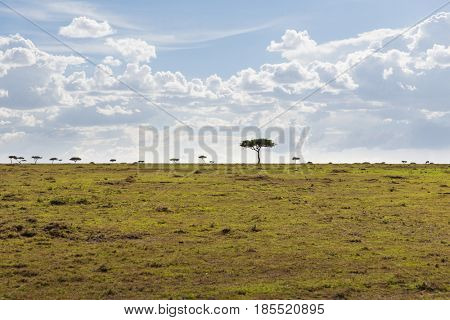 nature, landscape, environment and wildlife concept - acacia trees in maasai mara national reserve savannah at africa