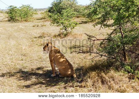 animal, nature and wildlife concept - lioness hunting in maasai mara national reserve savannah at africa
