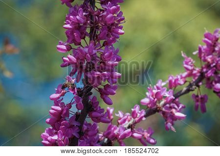 Blooming Cercis against the background of leaves and blue sky with a bee collecting nectar