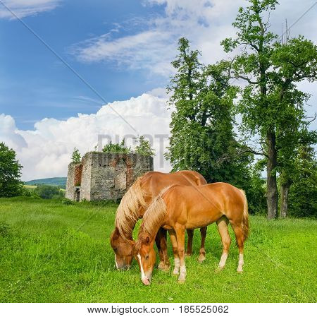 Two bay horses grazing on the grassland on the background of the ruins of the castle