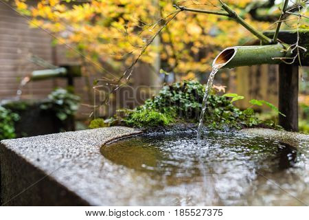 Water bamboo with maple tree in Japanese temple