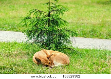Stray dog on street sleeps under the young pine and makes fear people