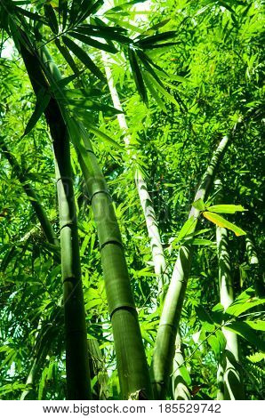 Asian bamboo forest in morning.