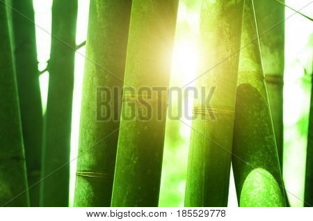 Close up on bamboo grove, with morning sunlight