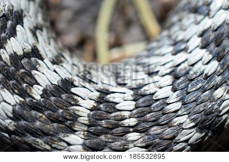 Close up of Adder, Vipera berus, detail of the snake skin.