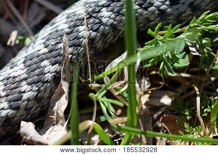 Adder, Vipera berus. Snake on grass close up.