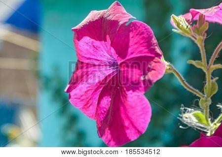 Close up violet flower of bindweed or Convolvulus