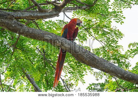 Scarlet macaw (Ara macao) sitting on the tree branch
