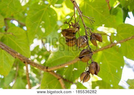 Close up paulownia pods on green tree