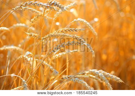 Close up of ripe wheat ears. Beautiful backdrop of ripening ears of golden field. Nature background and blurred bokeh